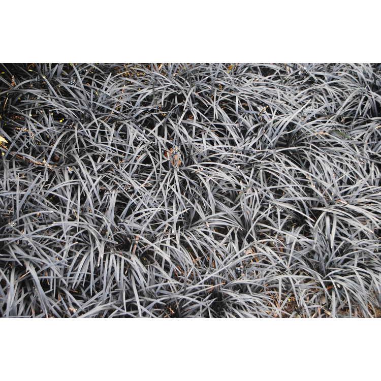 Ophiopogon planiscapus 'Kokuryu' - black mondo grass