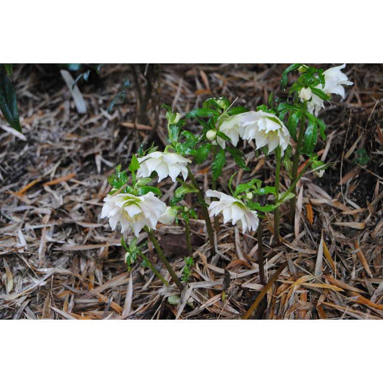 Helleborus ×hybridus (double flower) - double Lenten rose