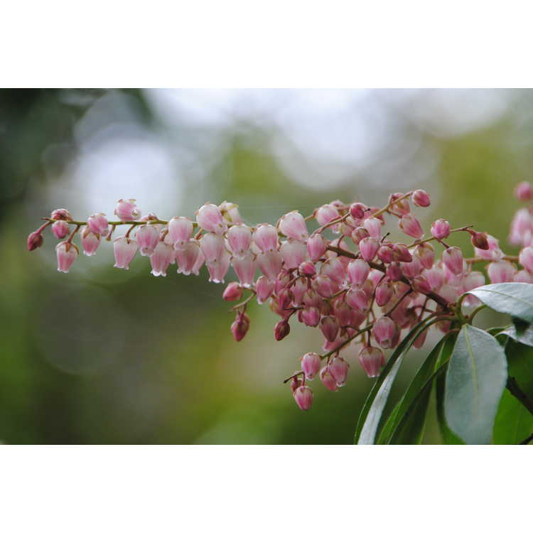 Pieris japonica 'Valley Rose' - pink Japanese andromeda