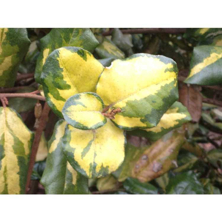 Elaeagnus ×ebbingei 'Coastal Gold' - variegated Ebbinge eleagnus