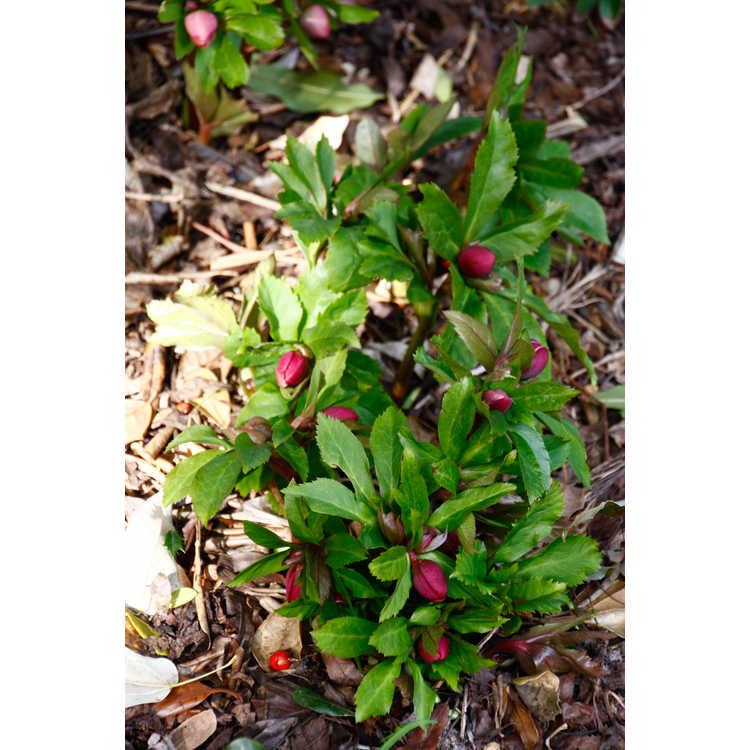 Helleborus hybridus Ashwood Garden hybrids