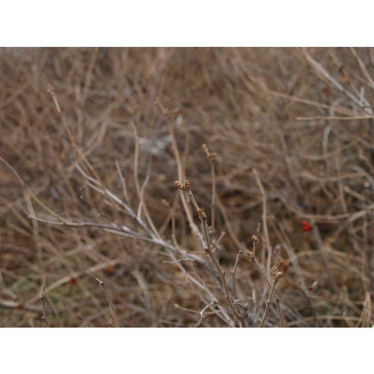 Rhus trilobata - skunkbush