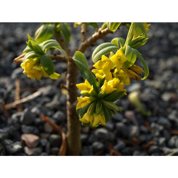 Daphne pseudomezereum - yellow daphne
