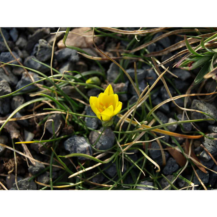 Nothoscordum sellowianum