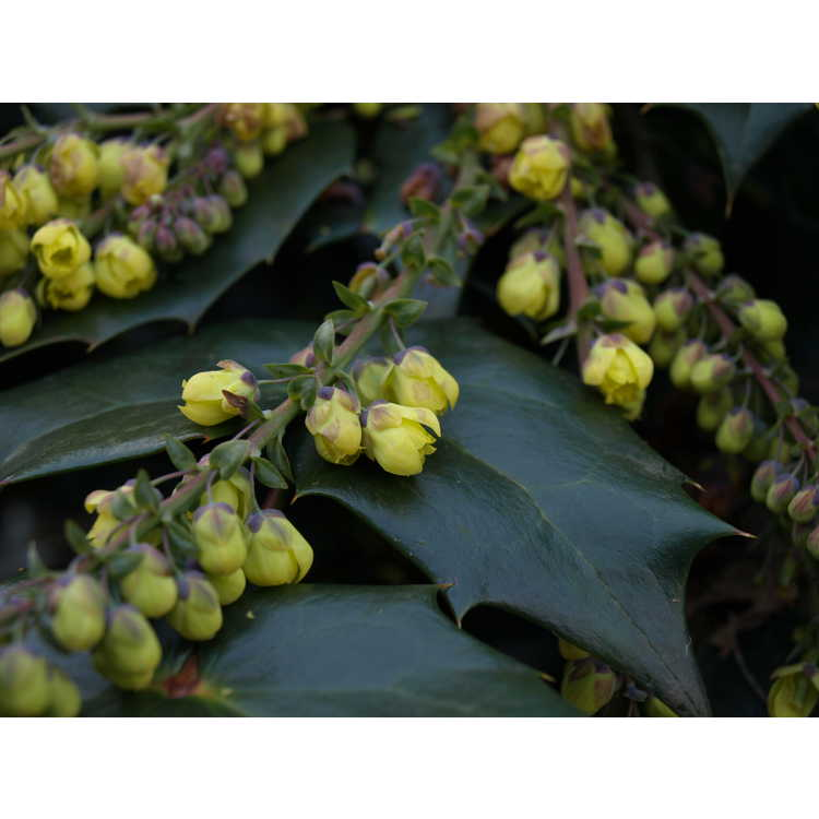 Mahonia japonica - Japanese mahonia