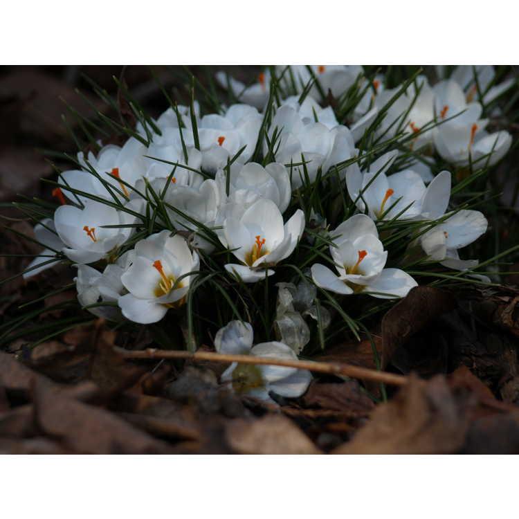 Crocus chrysanthus 'Ard Schenk' - spring crocus