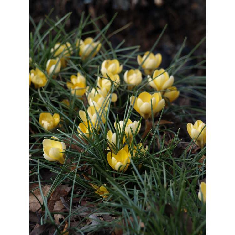 Crocus chrysanthus 'Romance' - spring crocus