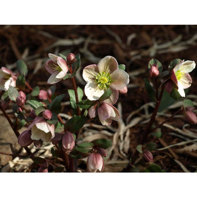 Helleborus ×ericsmithii 'Pirouette' - hybrid hellebore