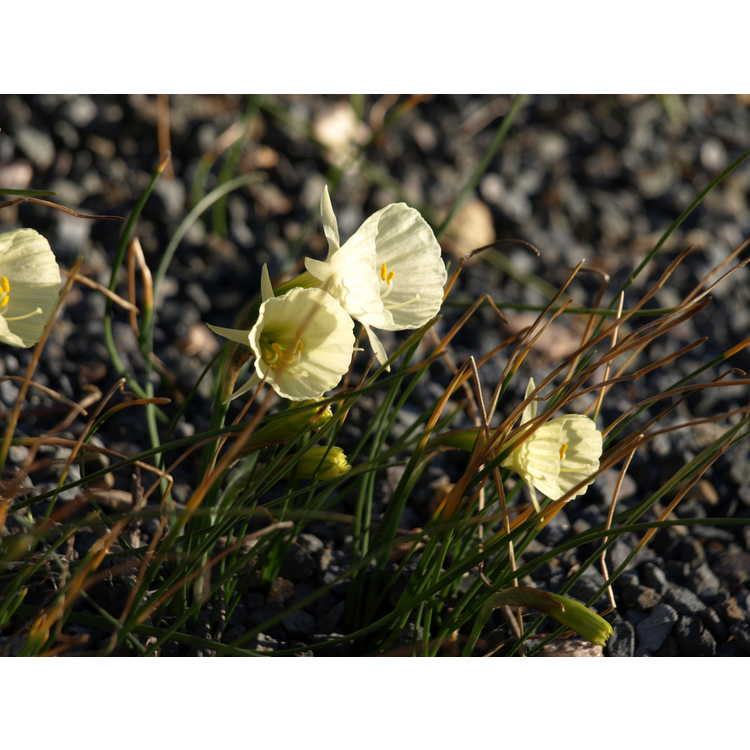 Narcissus 'Spoirot' - miniature daffodil