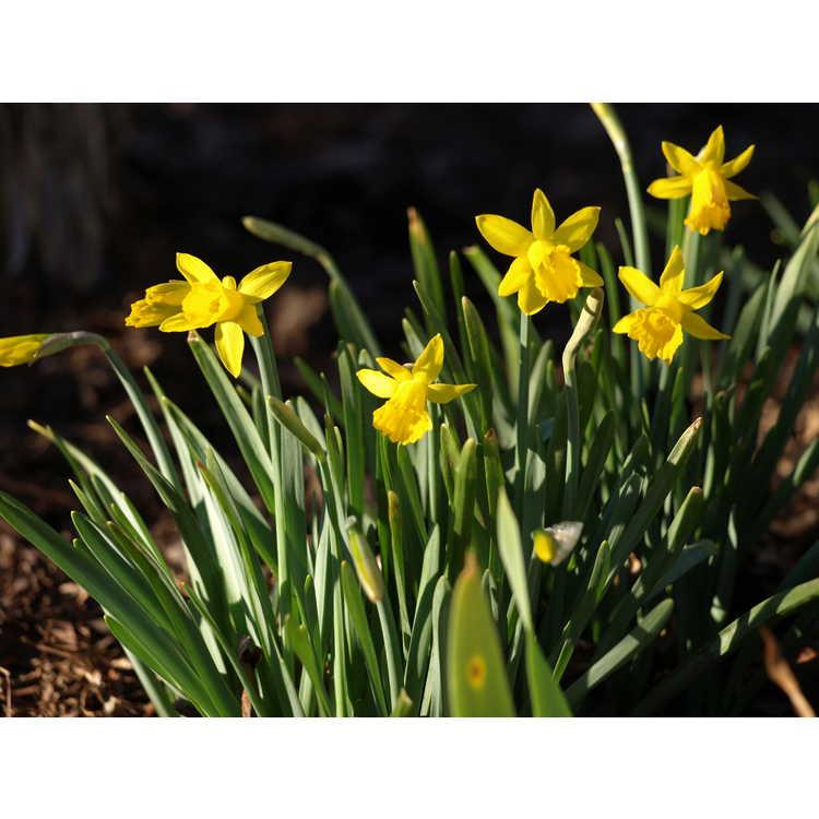 Narcissus 'Small Talk' - trumpet daffodil