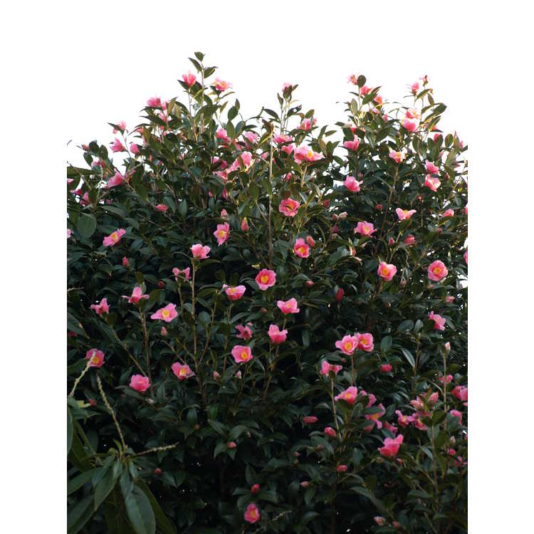 Camellia ×williamsii 'Mary Christian' - Williamsii camellia