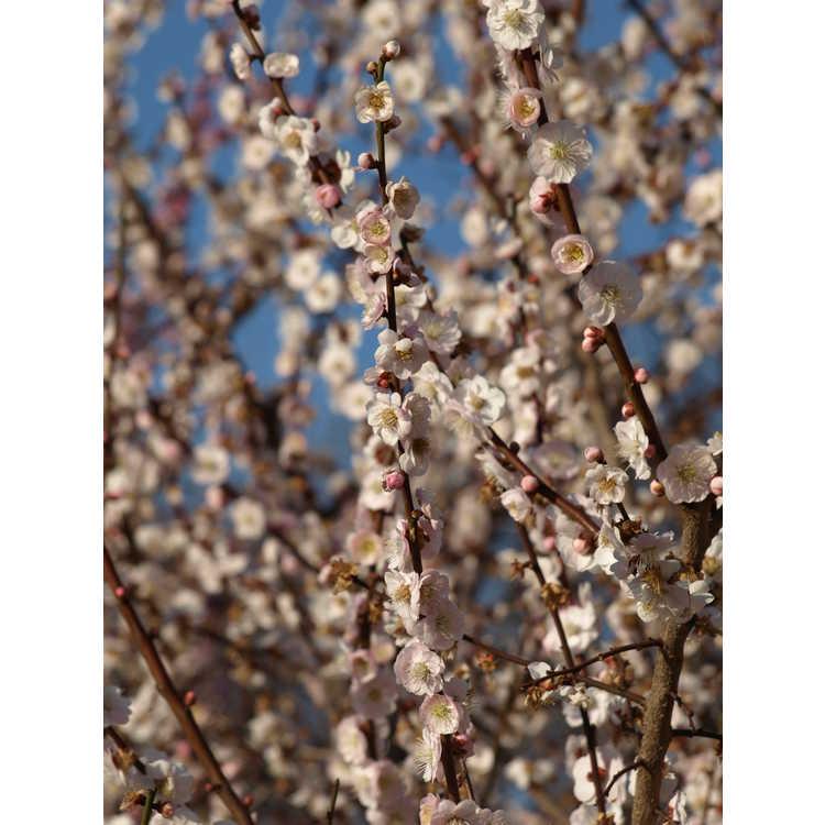 Prunus mume 'Omoi-no-mama' - Japanese flowering apricot