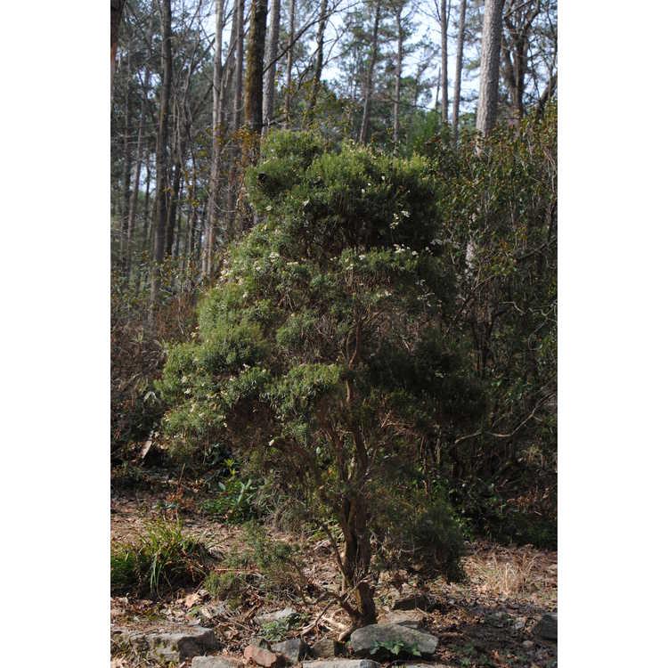 Pieris japonica 'Pygmaea' - pygmy Japanese andromeda