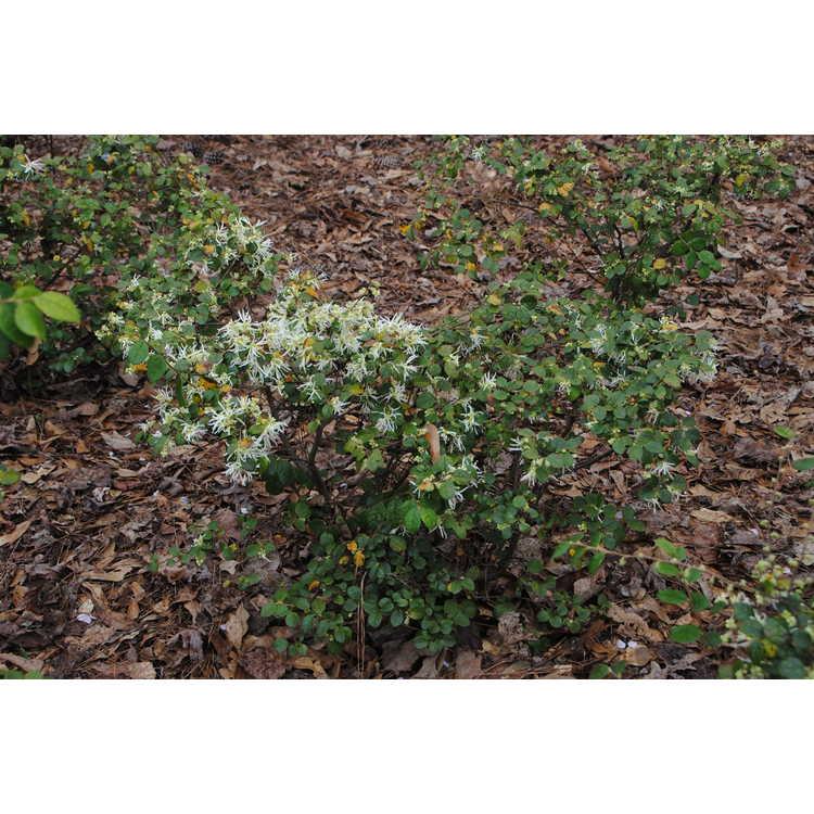 Loropetalum chinense 'Shang-White' - Emerald Snow dwarf Chinese fringe-flower