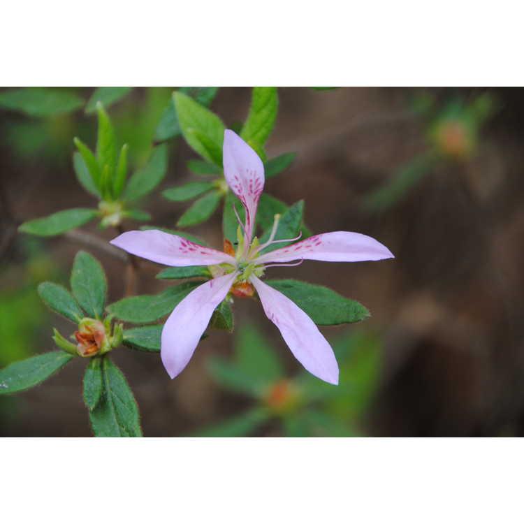 Rhododendron 'Koromo Shikibu'