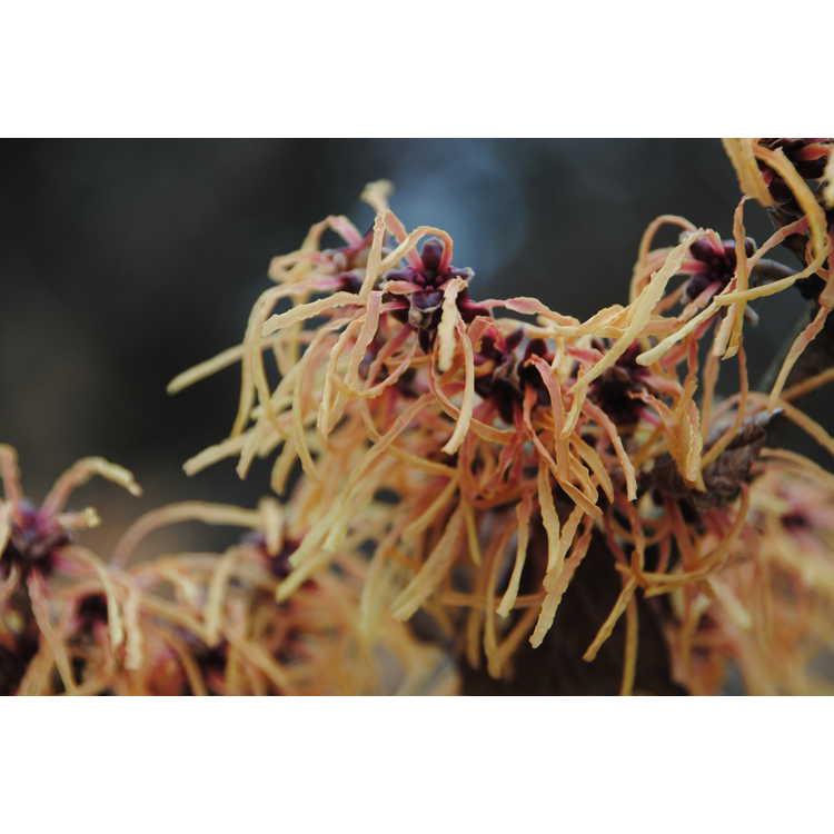Hamamelis ×intermedia 'Aurora' - common witchhazel