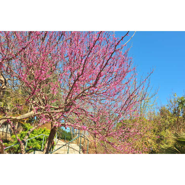 Cercis canadensis 'Floating Clouds' - variegated eastern redbud