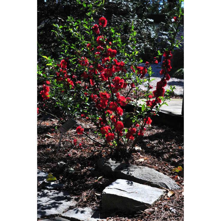 Chaenomeles 'Scarlet Storm' - hybrid flowering quince