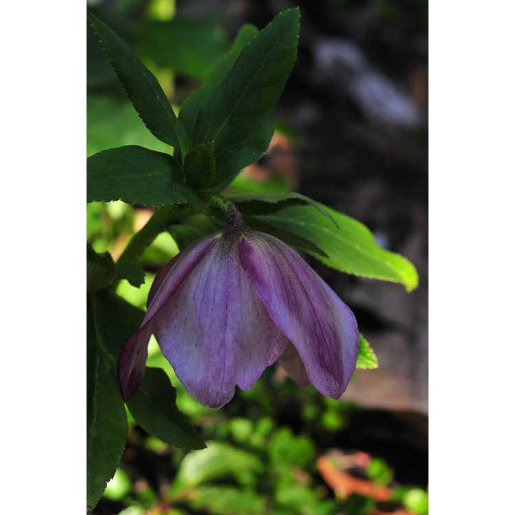 Helleborus ×hybridus (pale pink shades) - Lenten rose