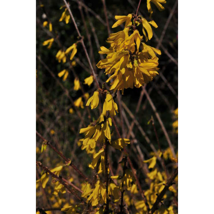Forsythia 'New Hampshire Gold'