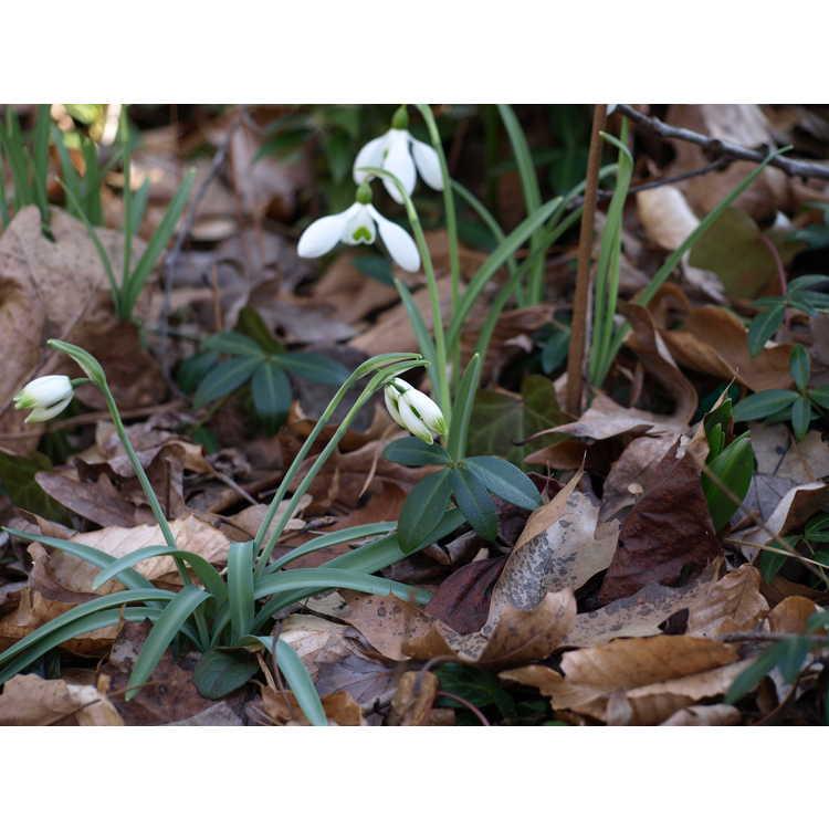 Galanthus nivalis 'Warei'