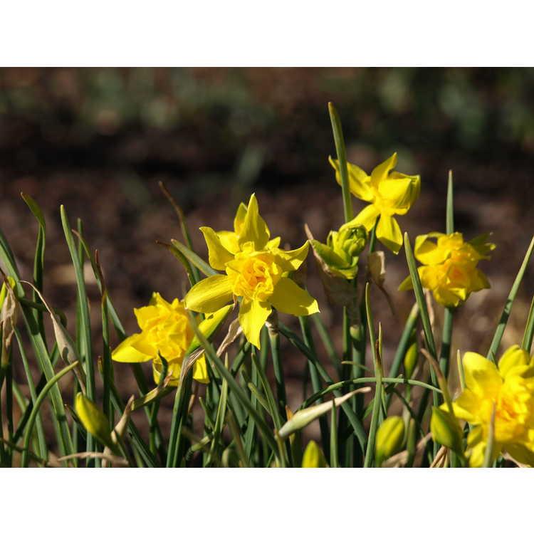 Narcissus ×odorus 'Plenus'