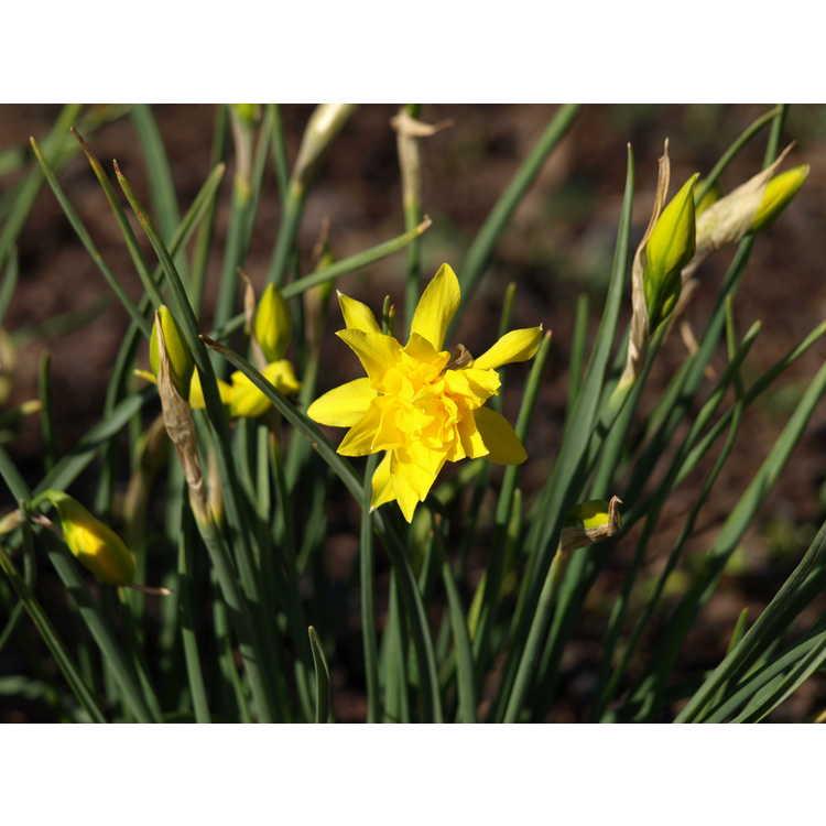 Narcissus odorus Plenus