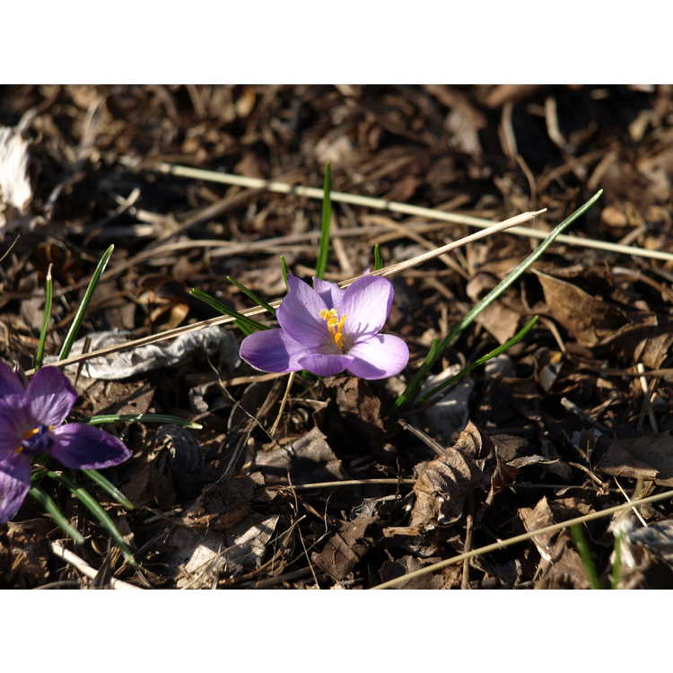 Crocus isauricus Spring Beauty