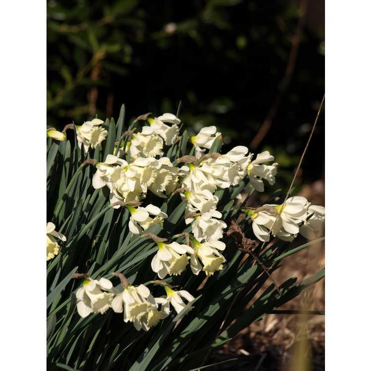 Narcissus pseudonarcissus subsp. moschatus