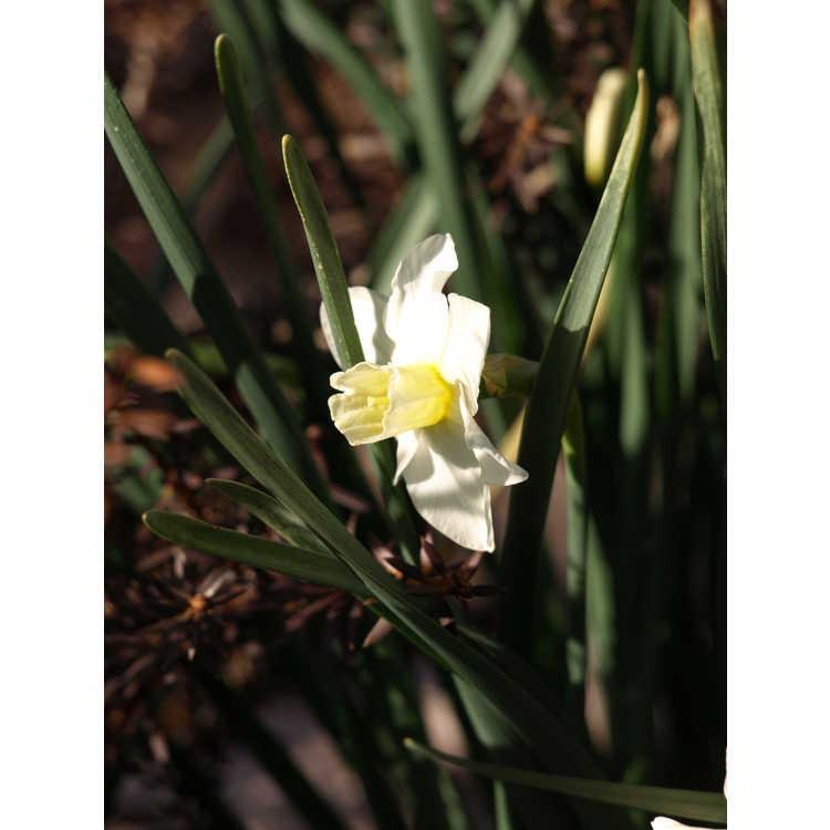 Narcissus Sugarbush