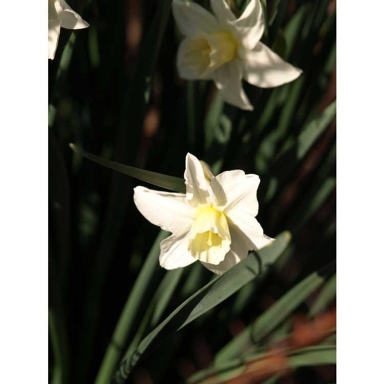 Narcissus 'Sugarbush' - jonquilla daffodil