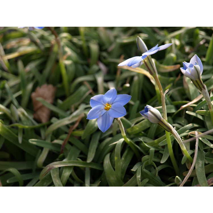 Ipheion uniflorum 'Rolf Fiedler' - spring star flower