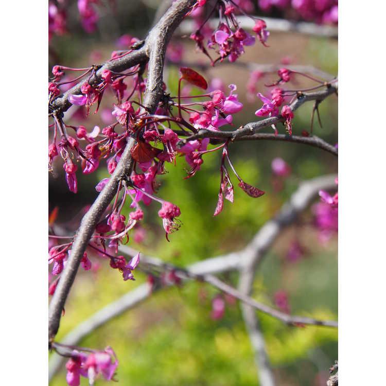 Cercis canadensis 'Ruby Falls' - weeping eastern redbud
