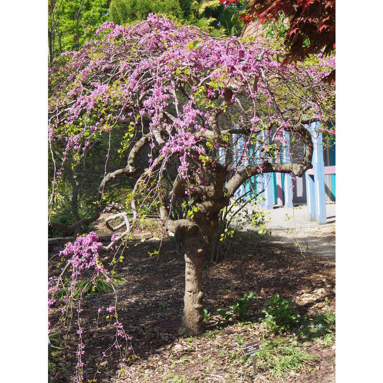 Traveler S Weeping Redbud