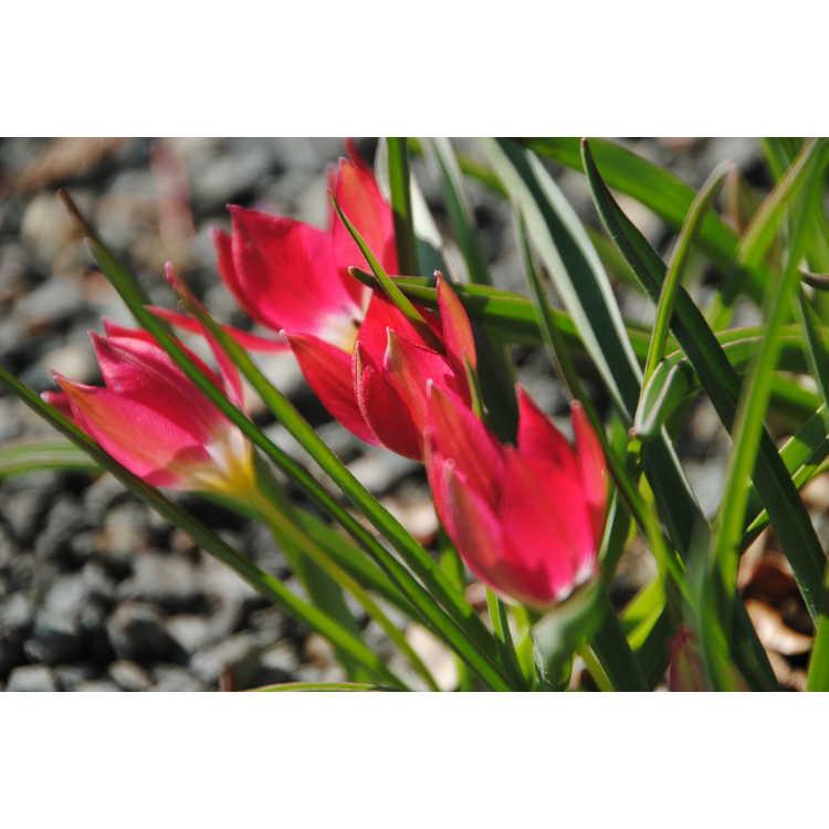Tulipa humilis 'Red Cap'