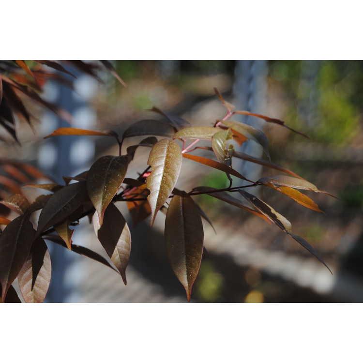Acer laevigatum