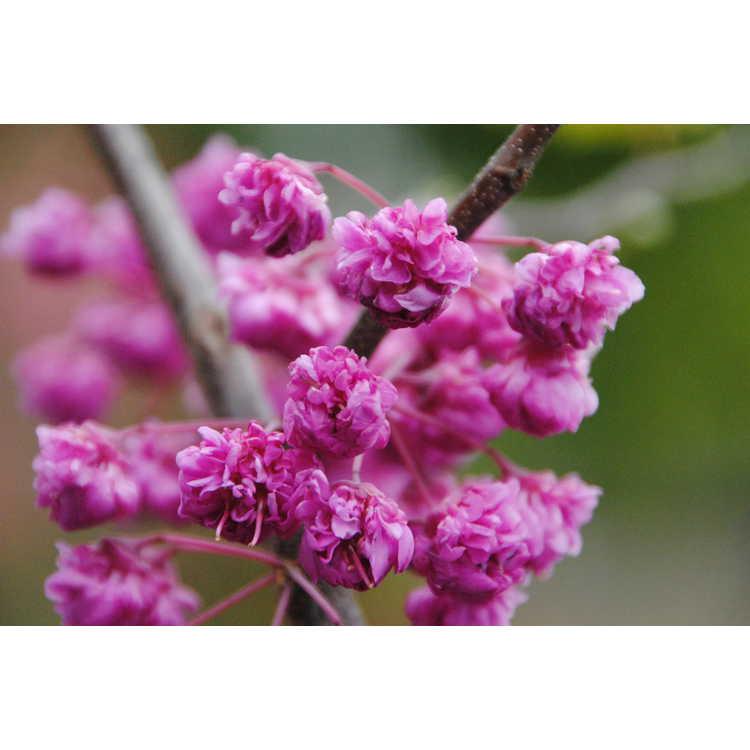 Cercis canadensis Pink Pom Poms
