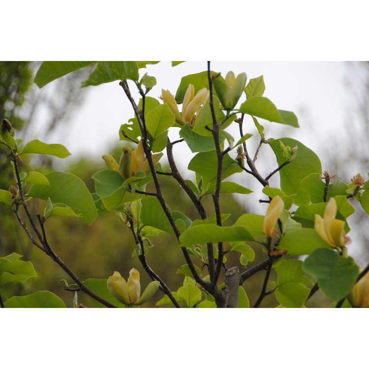Magnolia 'Shipmast'