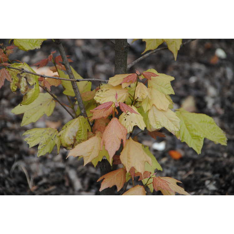 Acer skutchii (pink flush)