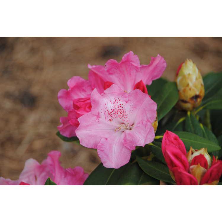 Rhododendron Solidarity