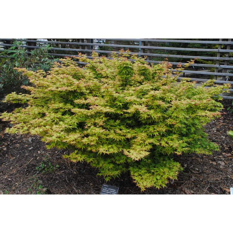 Acer palmatum 'Kashima yatsubusa'