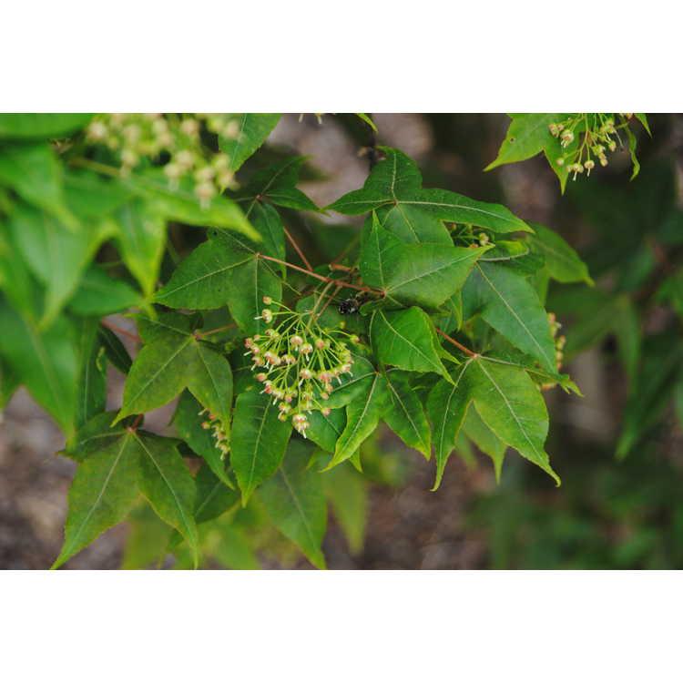 Acer pubinerve