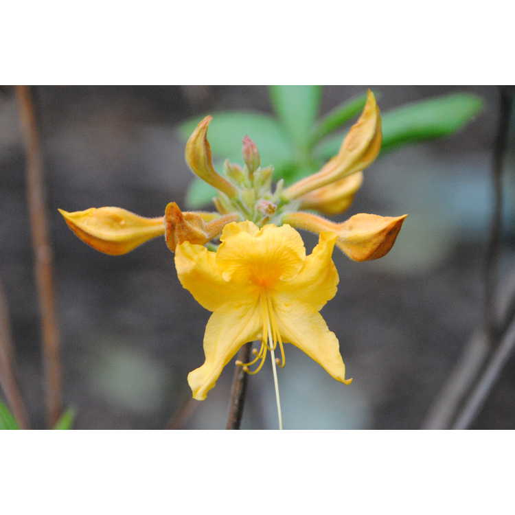 Rhododendron Appalachian Gold