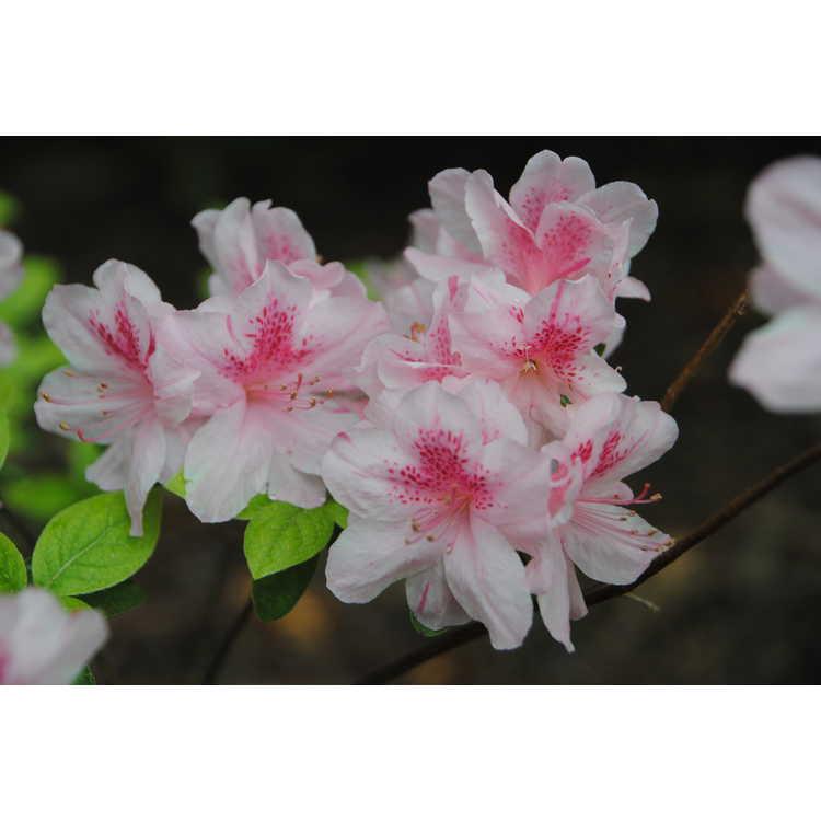 Rhododendron 'Helen Fox'
