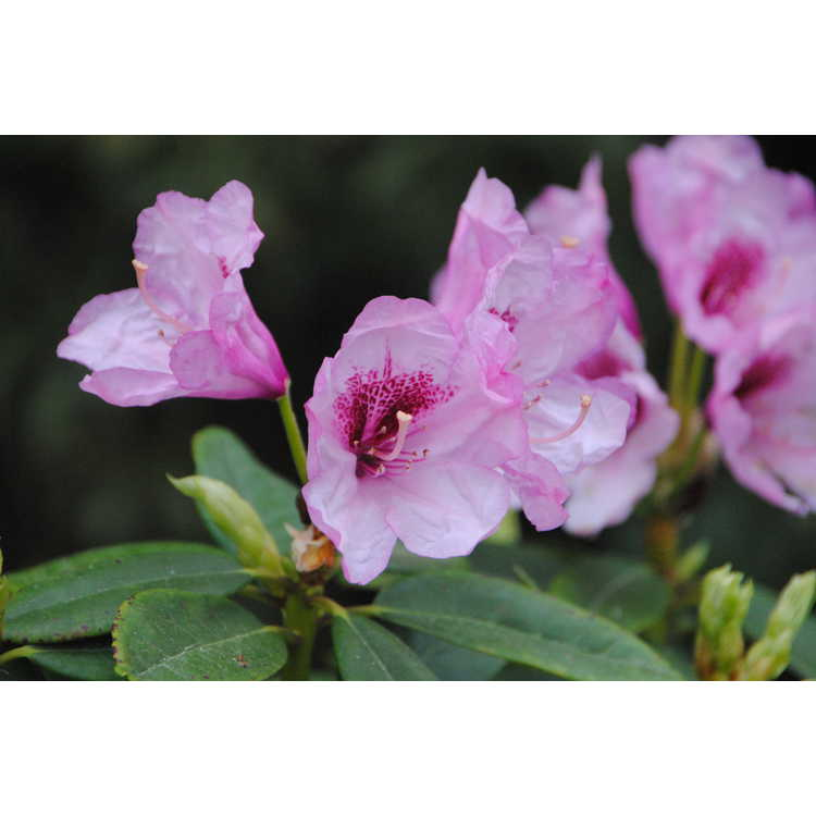 Rhododendron 'Tyler Morris' - Southgate Radiance rhododendron