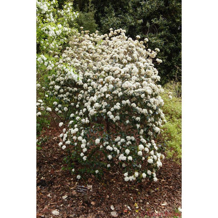 Viburnum burkwoodii Conoy