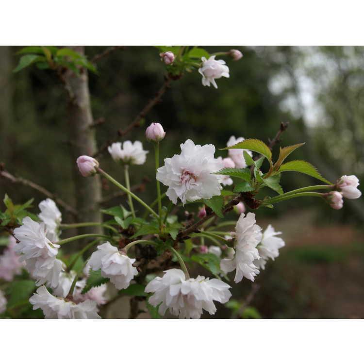 Prunus incisa Rinpo Zuzu