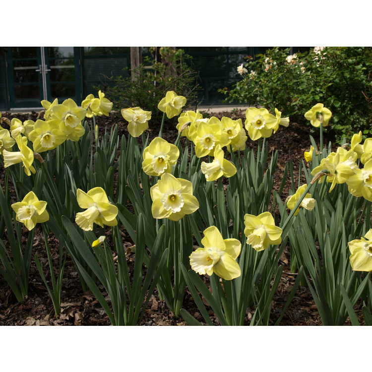 Narcissus 'Altun Ha'