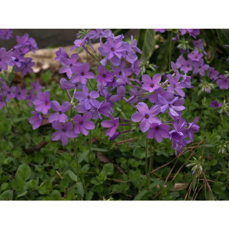 Phlox stolonifera Weesie Smith