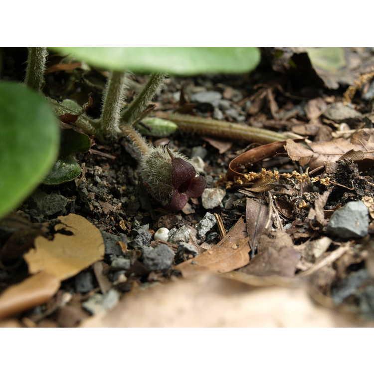 Asarum caudigerum